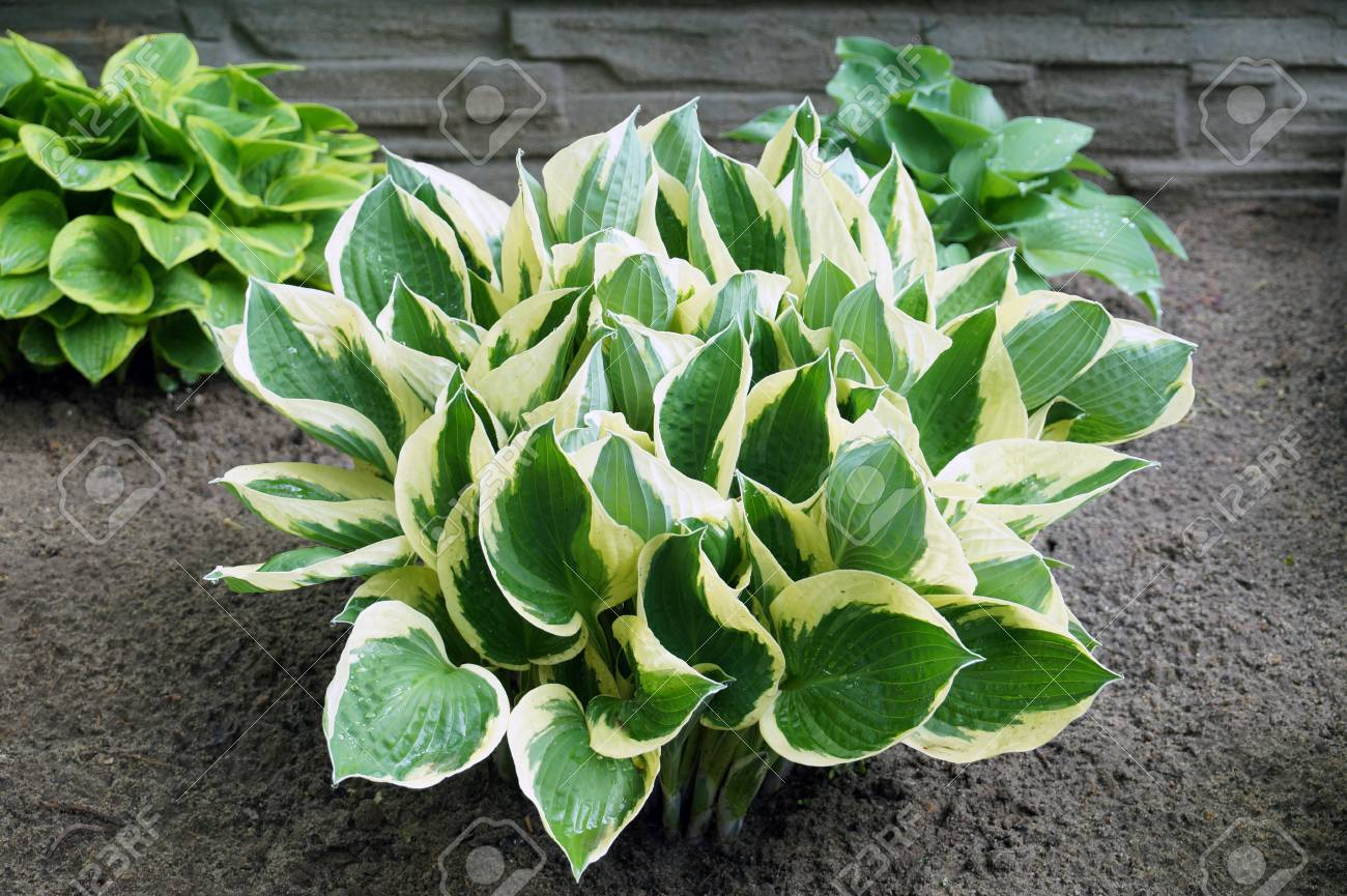 Hosta Is A Genus Of Plants Commonly Known As Hostas Plantain