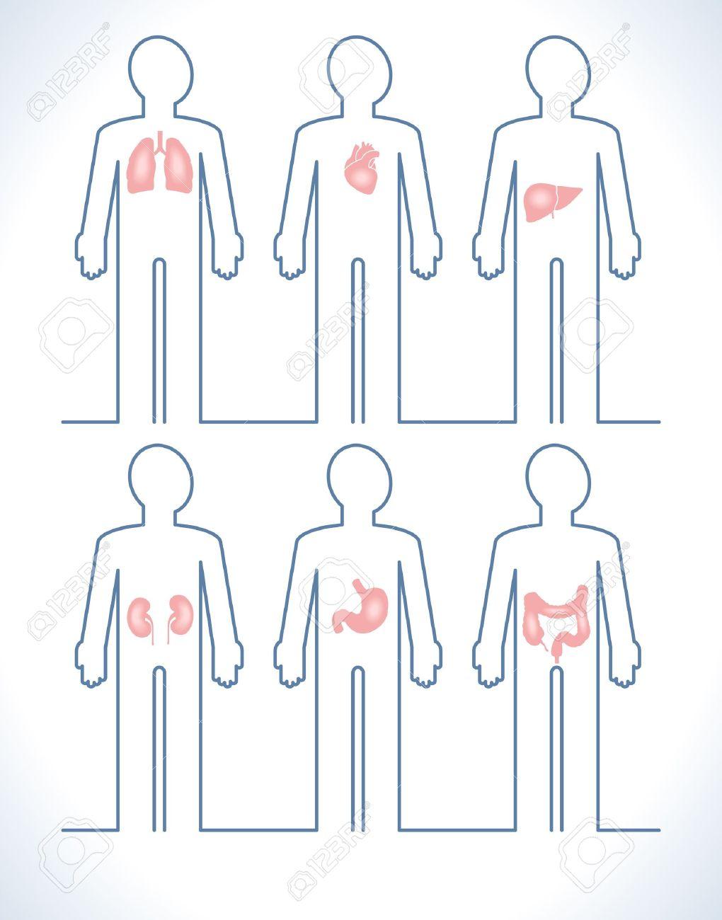 Set Der Menschlichen Anatomie Teile: Leber, Herz, Niere, Lunge ...