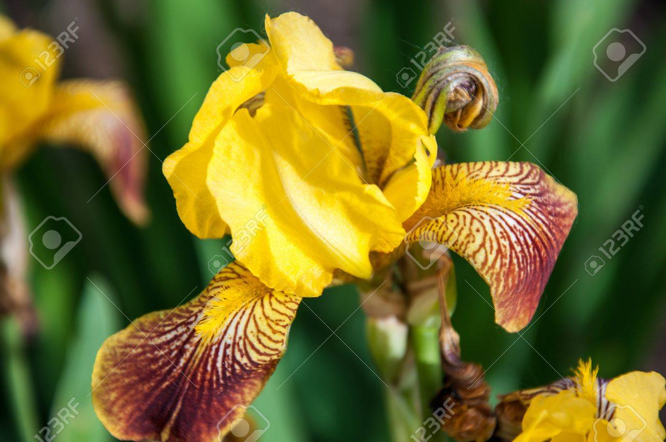 Iris flowers are perfect for landscape design - 20075847