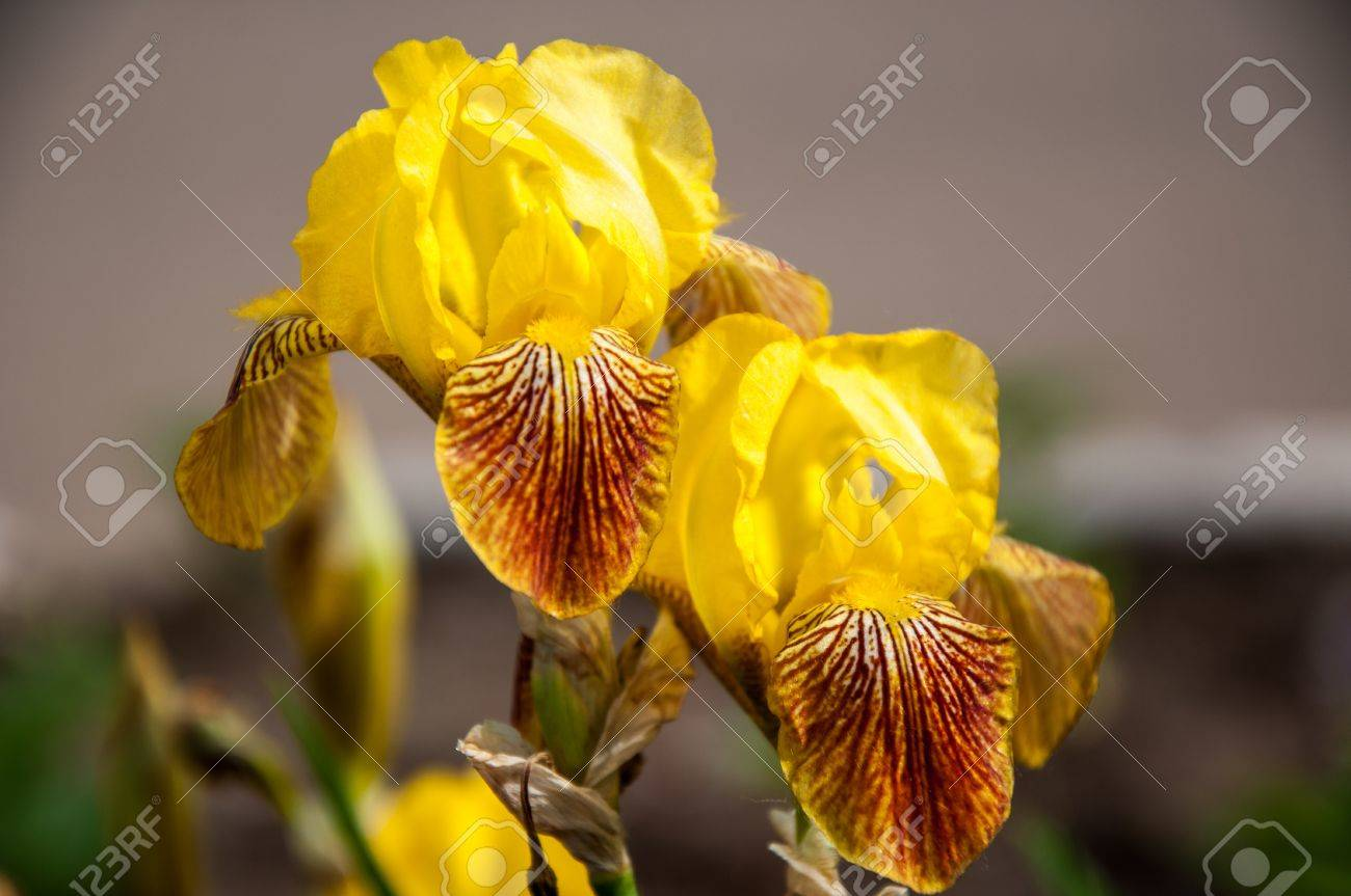 Iris flowers are perfect for landscape design Stock Photo - 20067931
