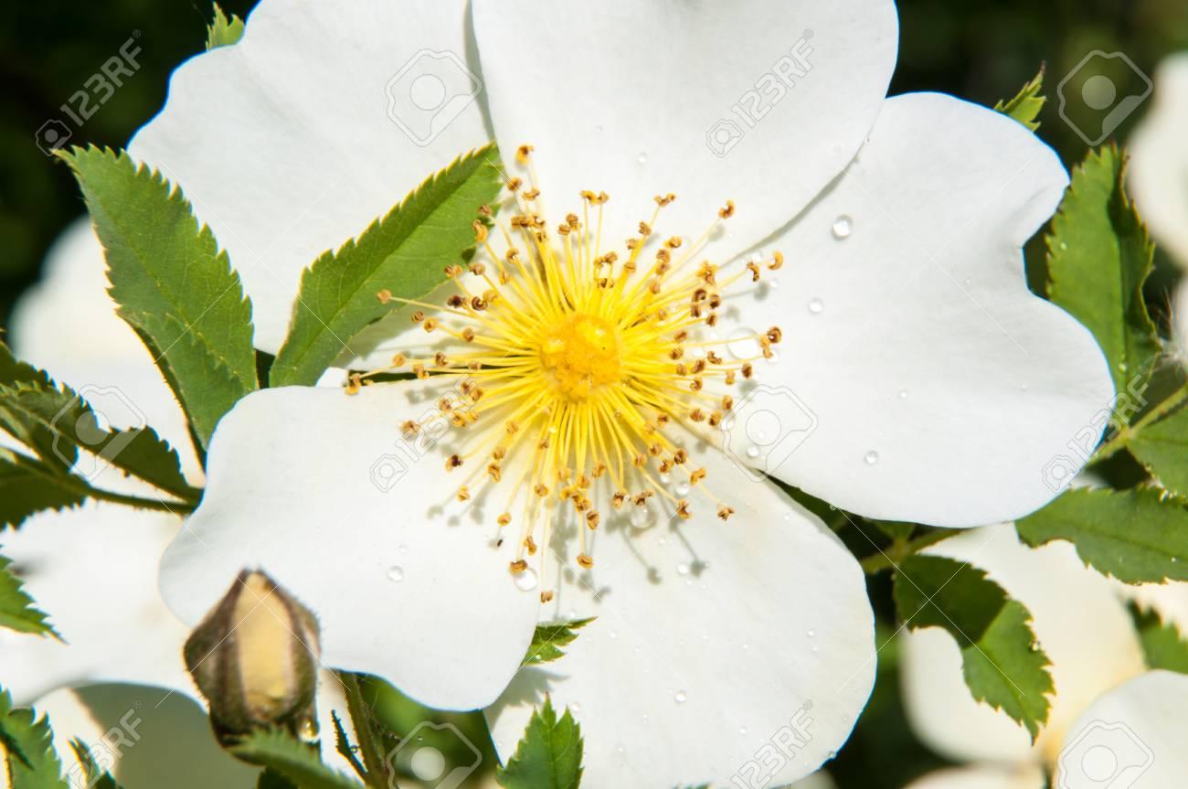 Spring Flower dog rose - 28451520