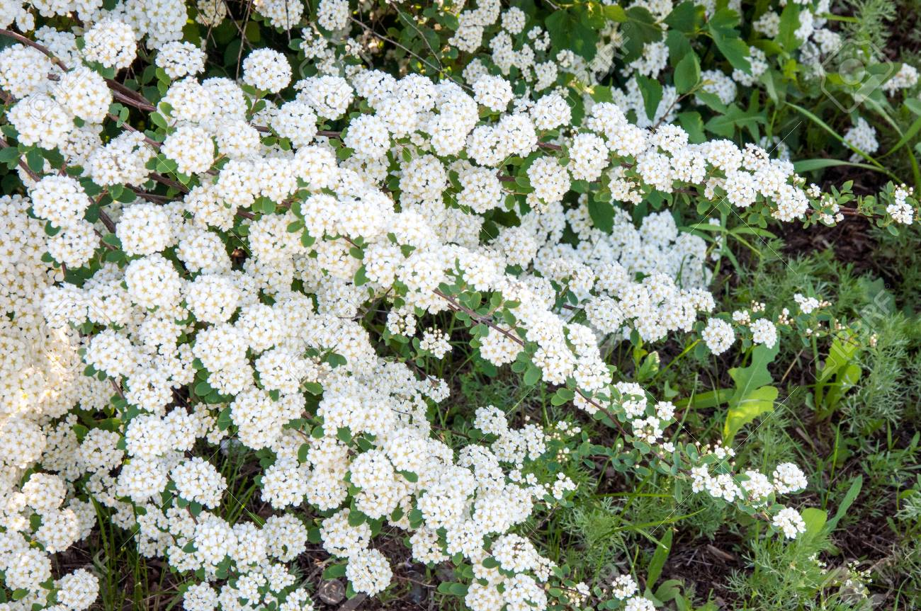 Small white flowers of spiraea in spring morning stock photo small white flowers of spiraea in spring morning stock photo 59949296 mightylinksfo
