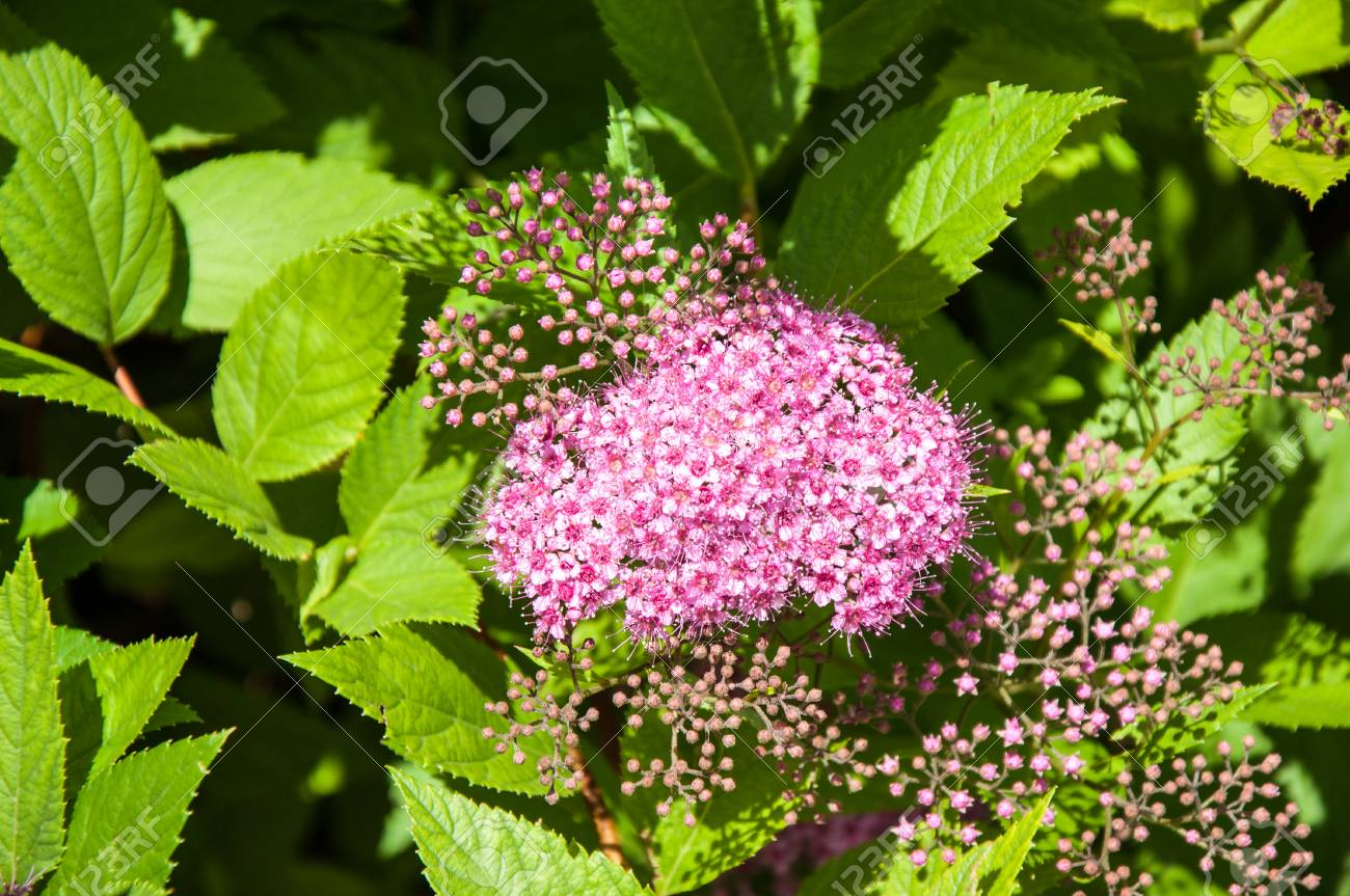 Small Flowers Of Spiraea Pink In Summer Day Stock Photo Picture And