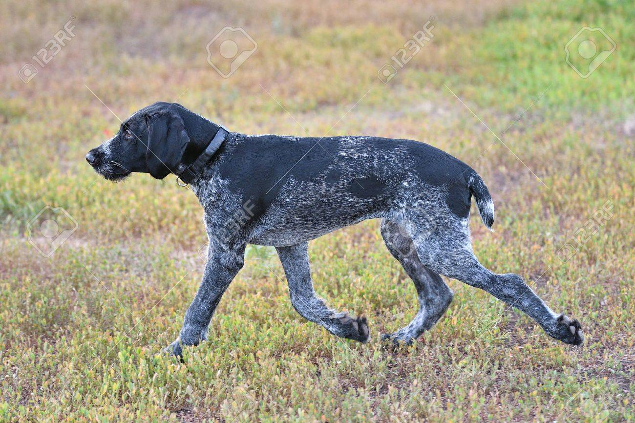Hunting Dog Breed German Wirehaired Pointer On The Walk Stock Photo ...
