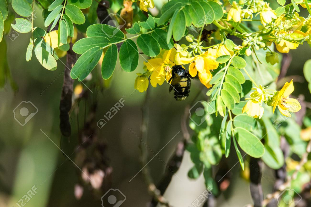 Bumblebee on acacia a big wasp on a bush with yellow flowers a big wasp on a bush with yellow flowers takes nectar stock mightylinksfo