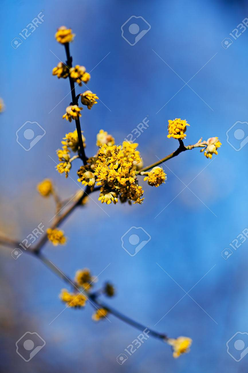 Yellow flowers of cornel tree in early spring on natural blue stock photo yellow flowers of cornel tree in early spring on natural blue background note shallow depth of field mightylinksfo