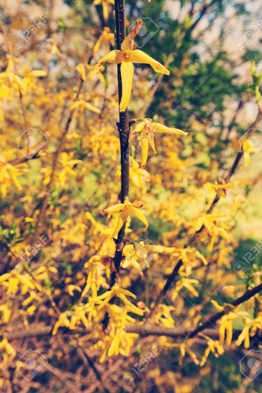 Bush with small yellow flowers on a branches note shallow depth bush with small yellow flowers on a branches note shallow depth of field stock photo mightylinksfo