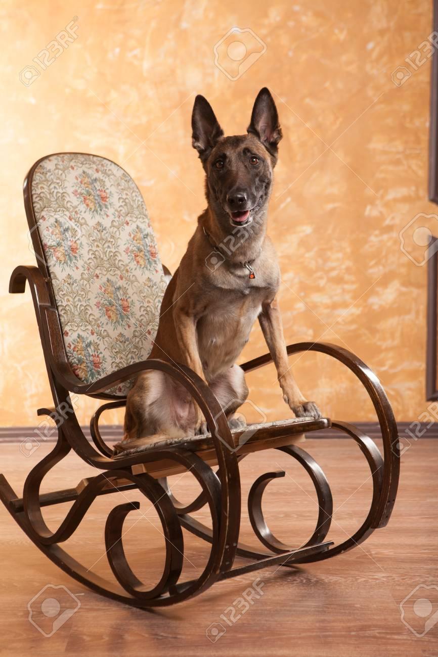 Sensational Happy Dog Malinois On The Rocking Chair Frankydiablos Diy Chair Ideas Frankydiabloscom