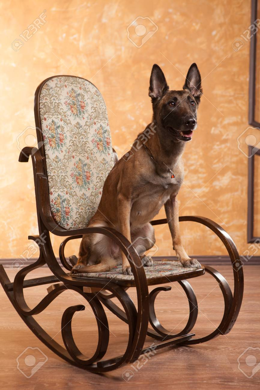 Super Happy Dog Malinois On The Rocking Chair Squirreltailoven Fun Painted Chair Ideas Images Squirreltailovenorg
