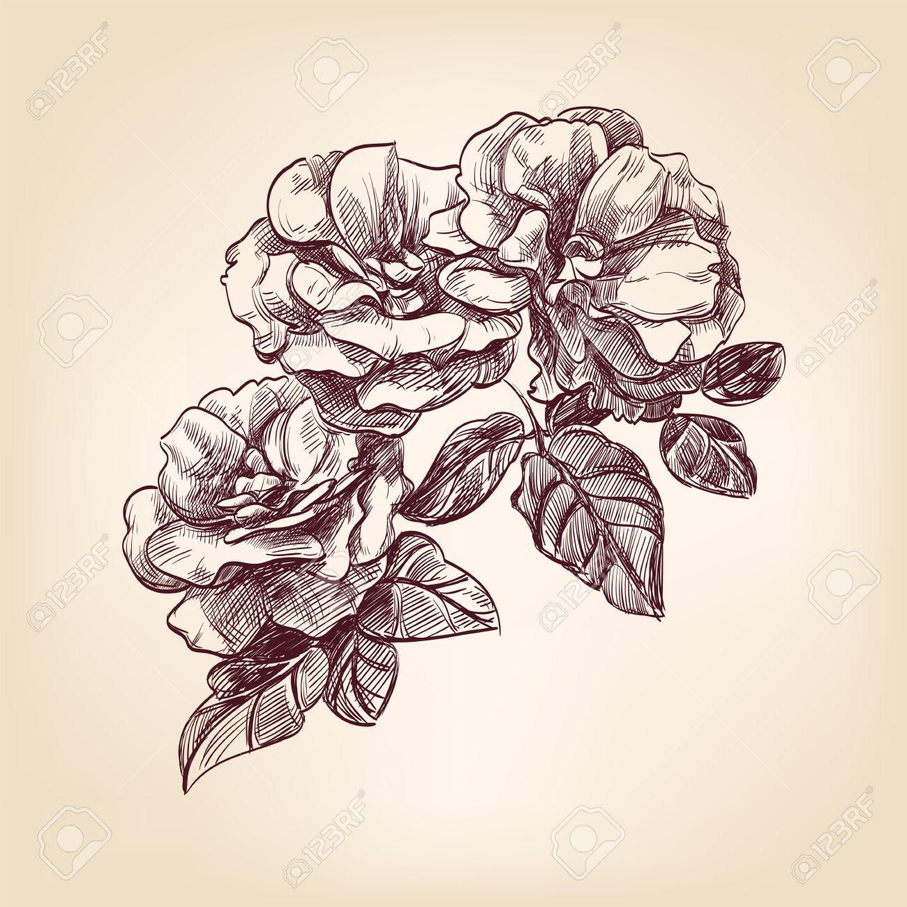 hand drawn roses Stock Photo - 15466702