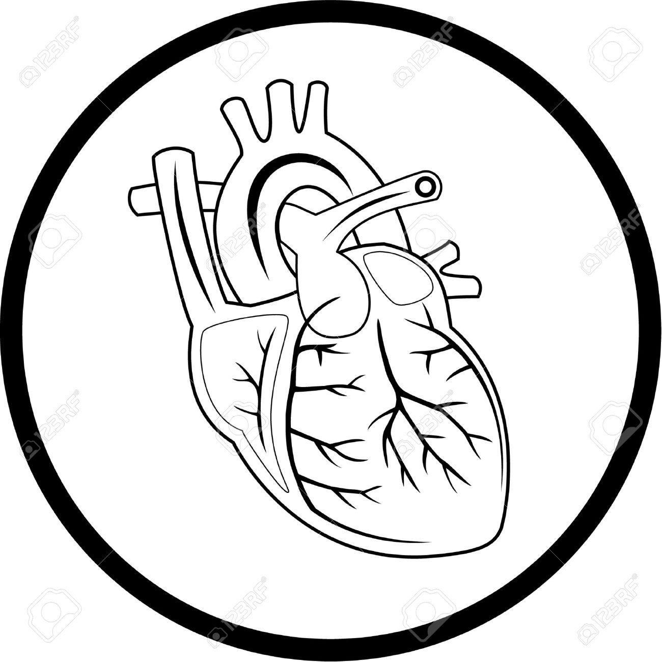 Human Heart Vector Image Vector Heart Icon
