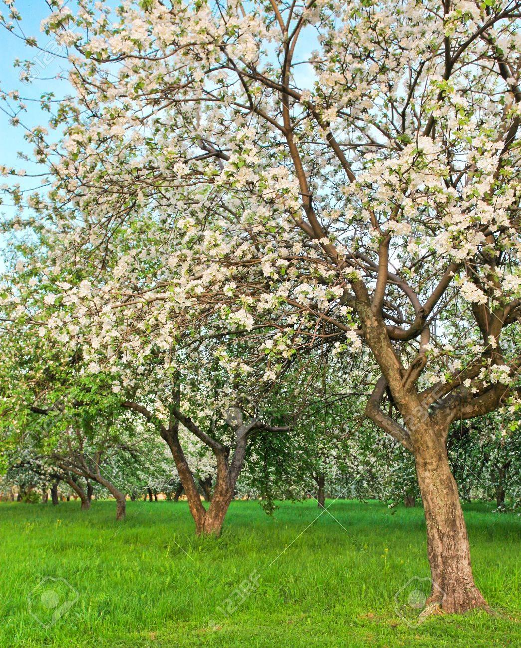 Foto Di Alberi Da Frutto bella fioritura di decorativo mela bianca e alberi da frutto più brillante  nel cielo blu colorato parco primavera vivido pieno di erba verde da luce