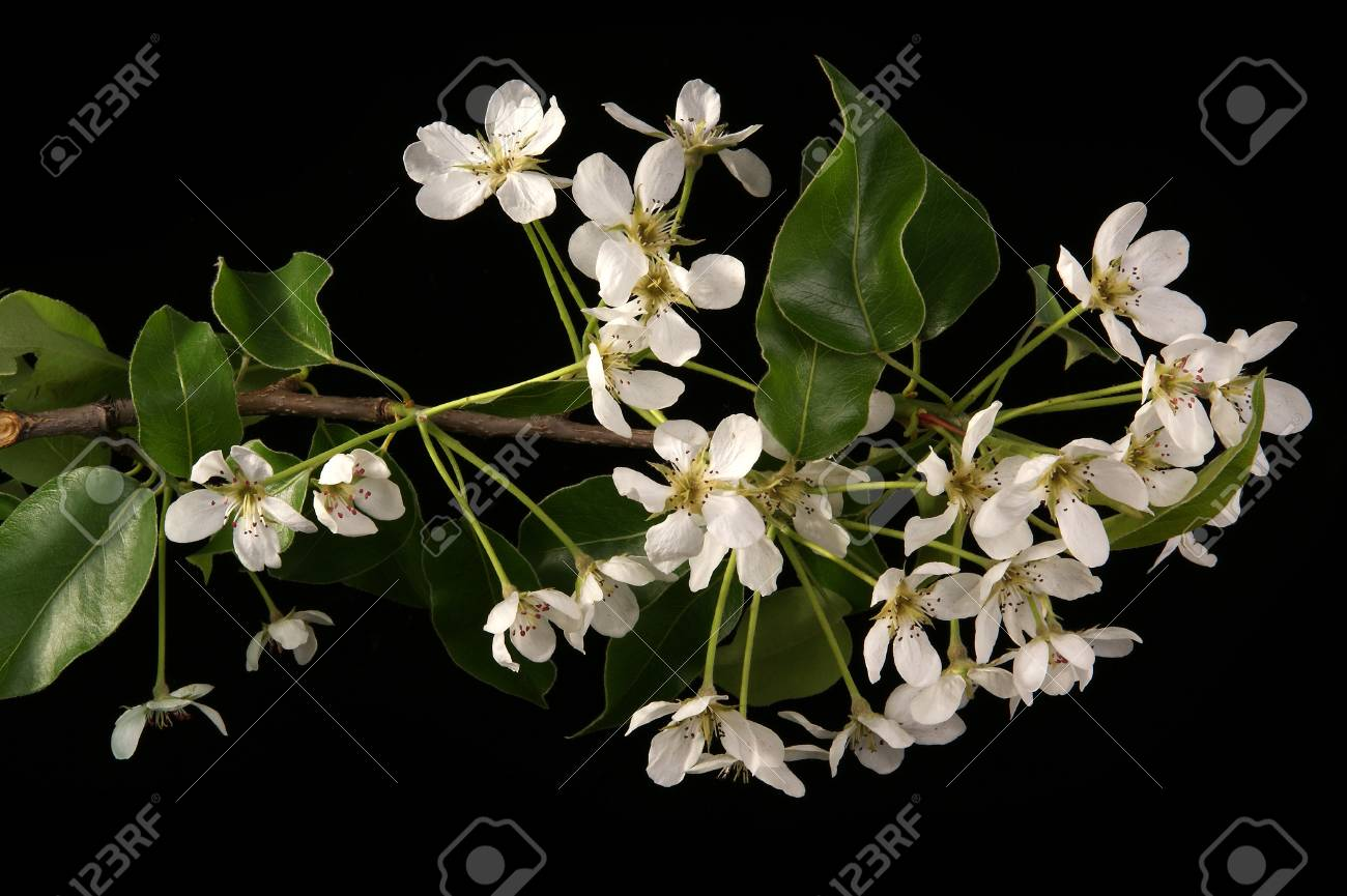 Branch with cherry flowers and blossoms, isolated on black Stock Photo - 11319401