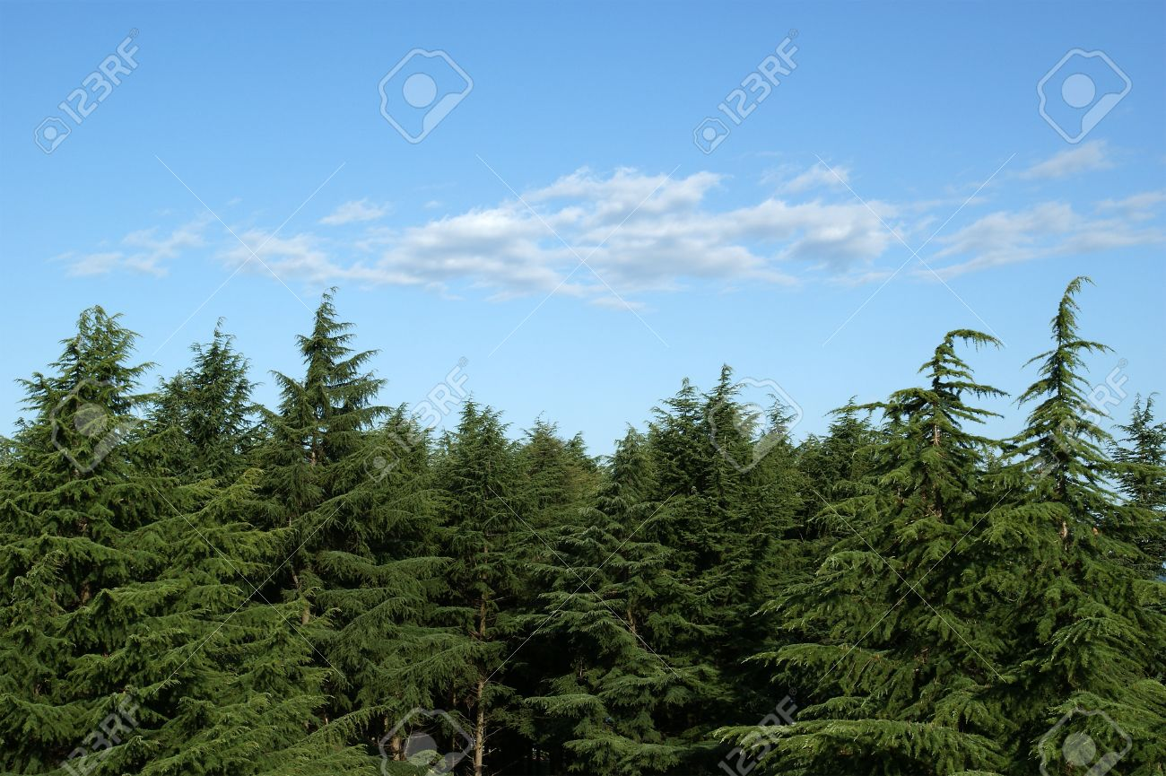 Pines against the blue sky Stock Photo - 11339349