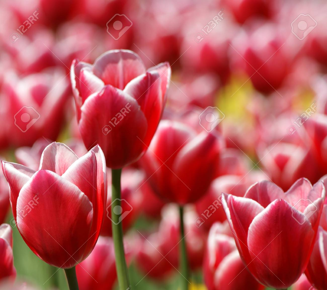 A field of beautiful red tulips closeup in the rays of sunlight Stock Photo - 11319720