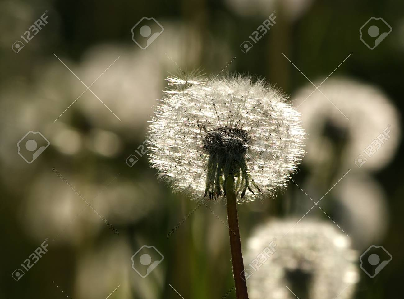The Heads Of Large White Fluffy Dandelions In Spring Field Stock