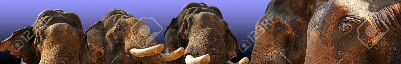 Face of Asian Elephant, or Indian, Kerala, South India Stock Photo - 11320133