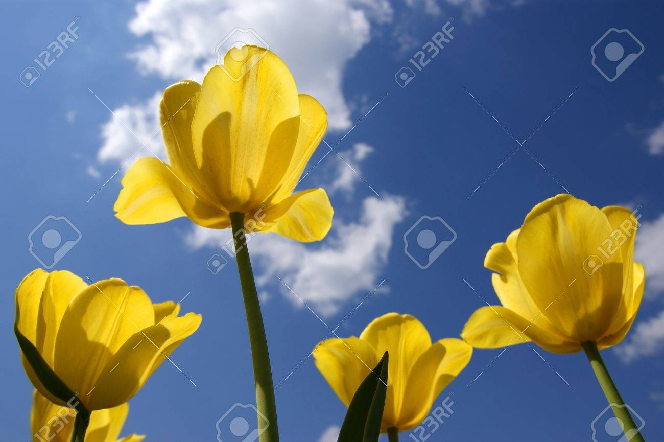 Beautiful yellow tulips on a background of blue sky with clouds in the sunny weather Stock Photo - 11320100
