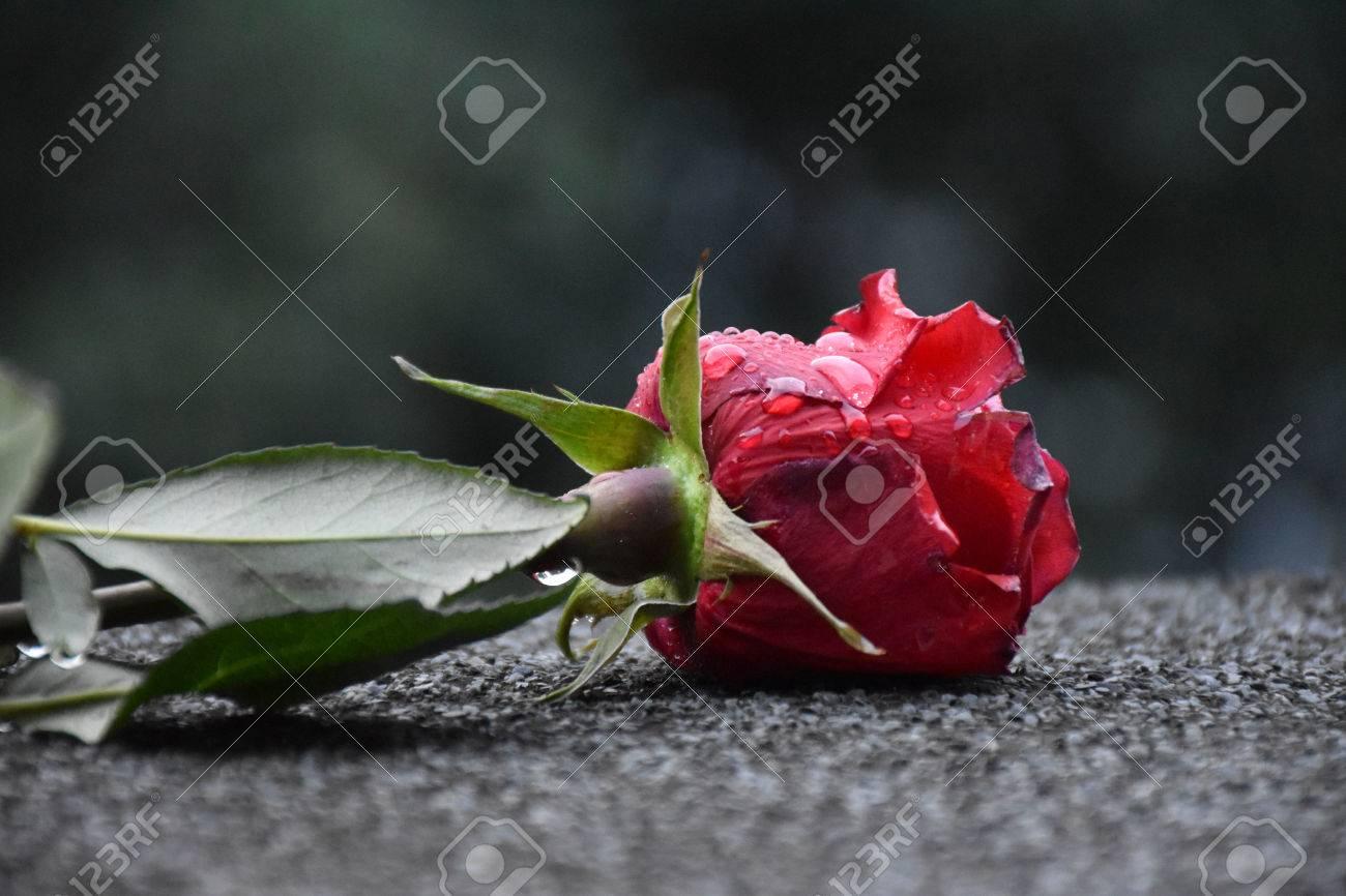 Una Rosa Rossa è Sceso In Strada Con Gocce Di Rugiada Sui Suoi