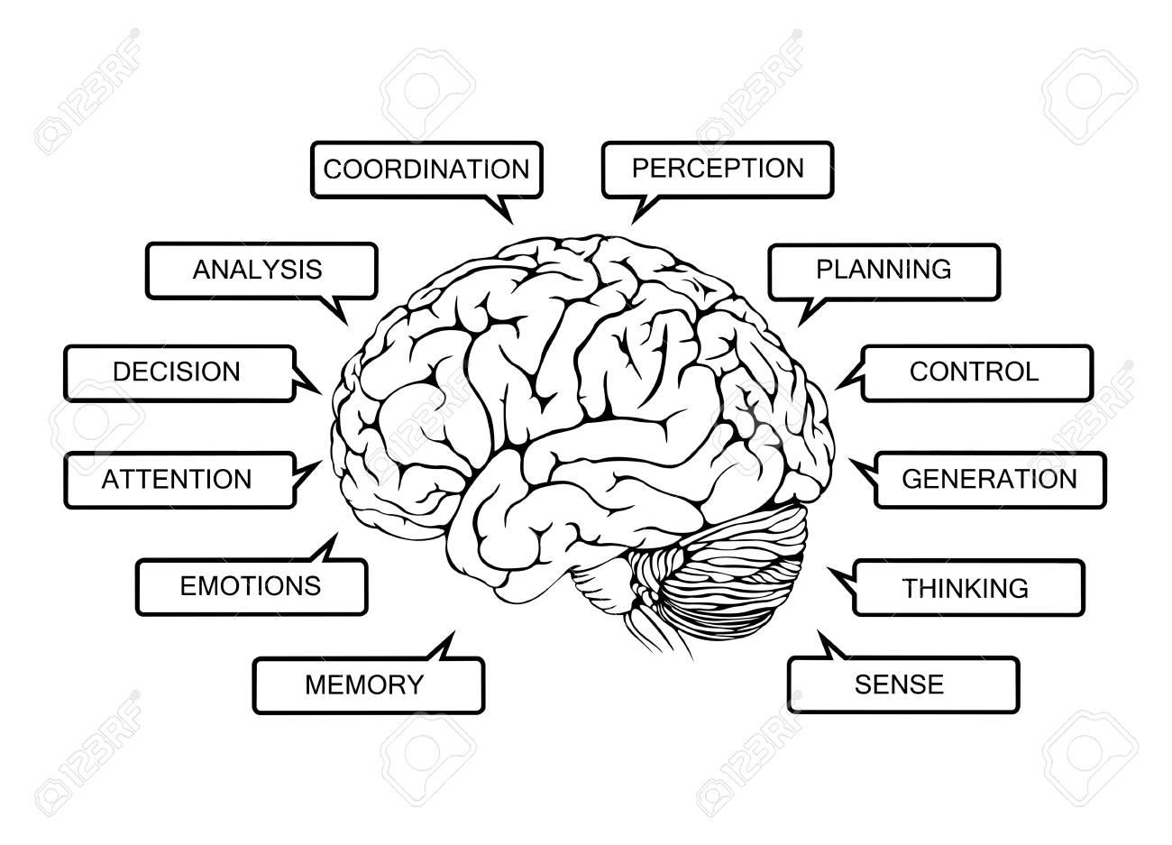 Human Brain Function Diagram On A White Background Stock Photo