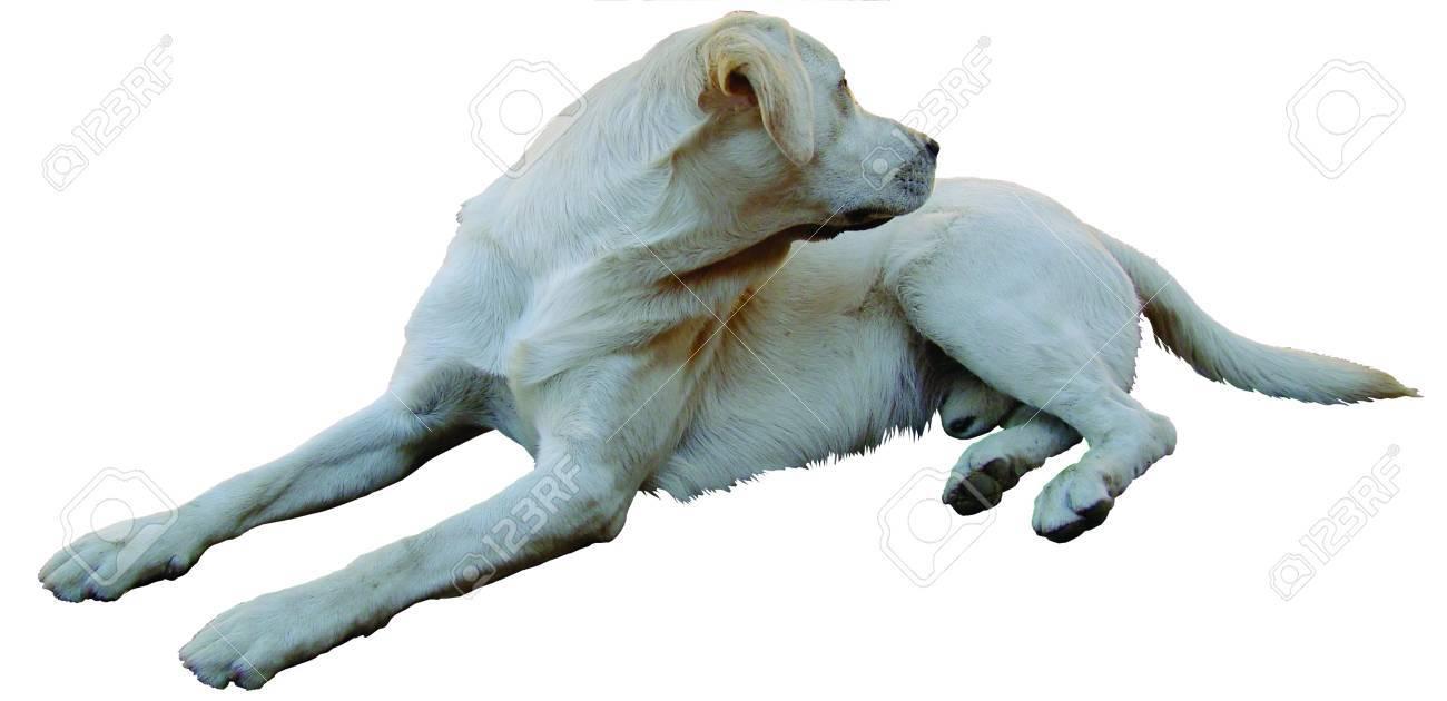 Perro Labrador Retriever De Color Beige, Mentirosos, Imágenes ...