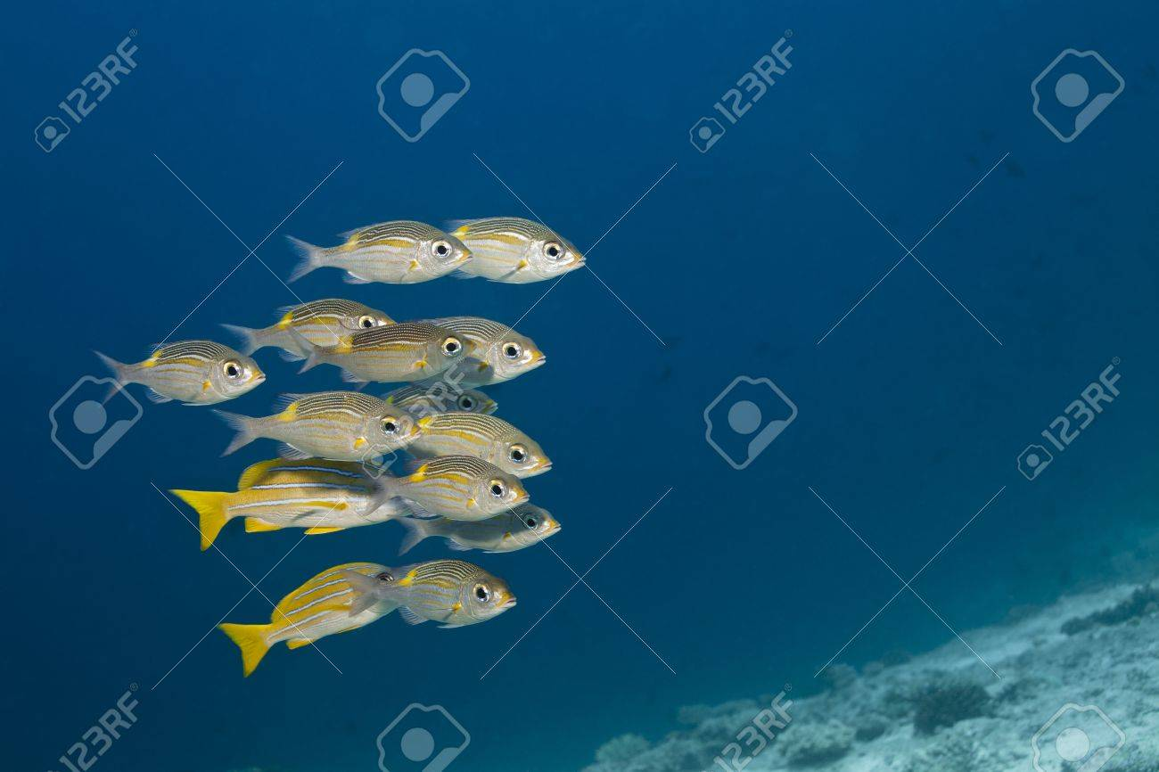 Snappers yellow tail, Ocyurus chrysurus in deep blue of indian ocean  Picture take in Ari atoll - Maldives Stock Photo - 13966505