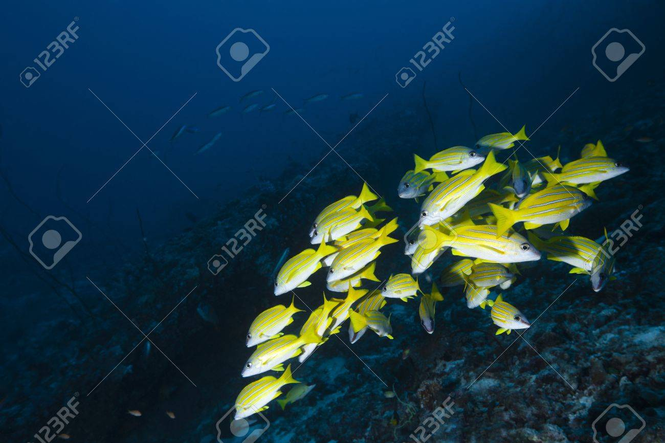 Snapper blue strip in deep blue of indian ocean  Picture take in Ari atoll - Maldives Stock Photo - 13966517