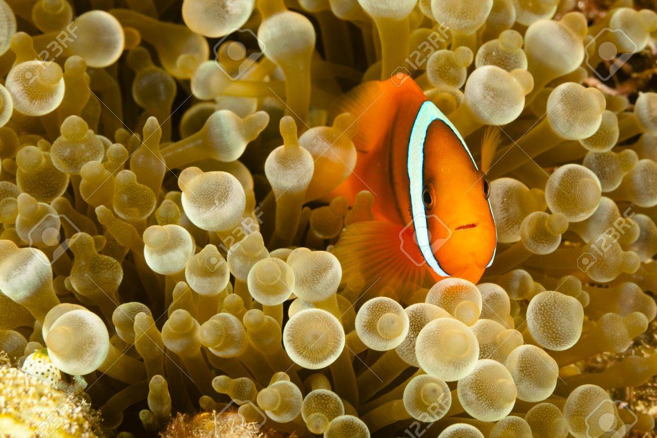 Pomacentridae,  Clown Fish or Anemonefish in Pacific Ocean at Panglao - Philippines Stock Photo - 18830248