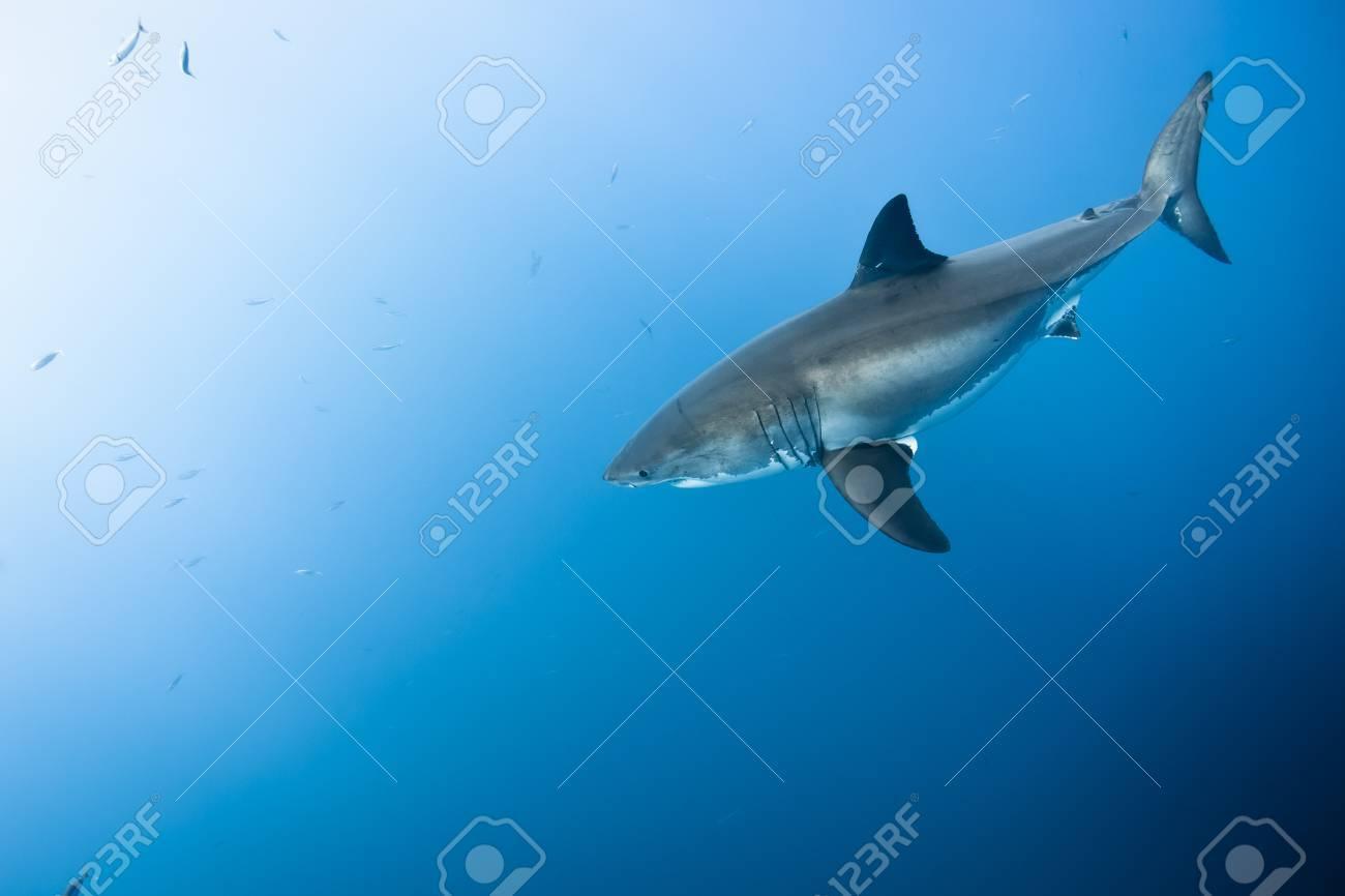偉大な白いサメ - ホオジロザメ...