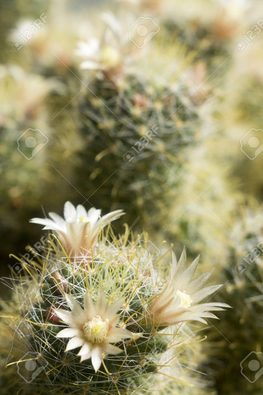 Three White Cactus Flowers In Macro Stock Photo Picture And Royalty