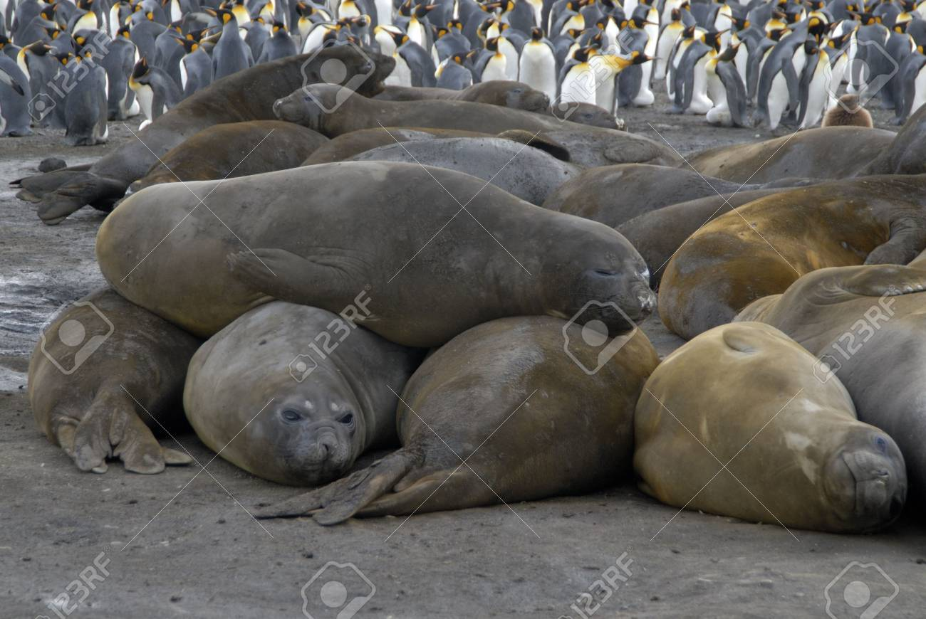 Elephant Seals - 1728917