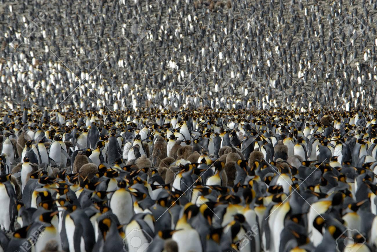 Colony King Penguin, South Georgia ,Andrews Bay - 1728930