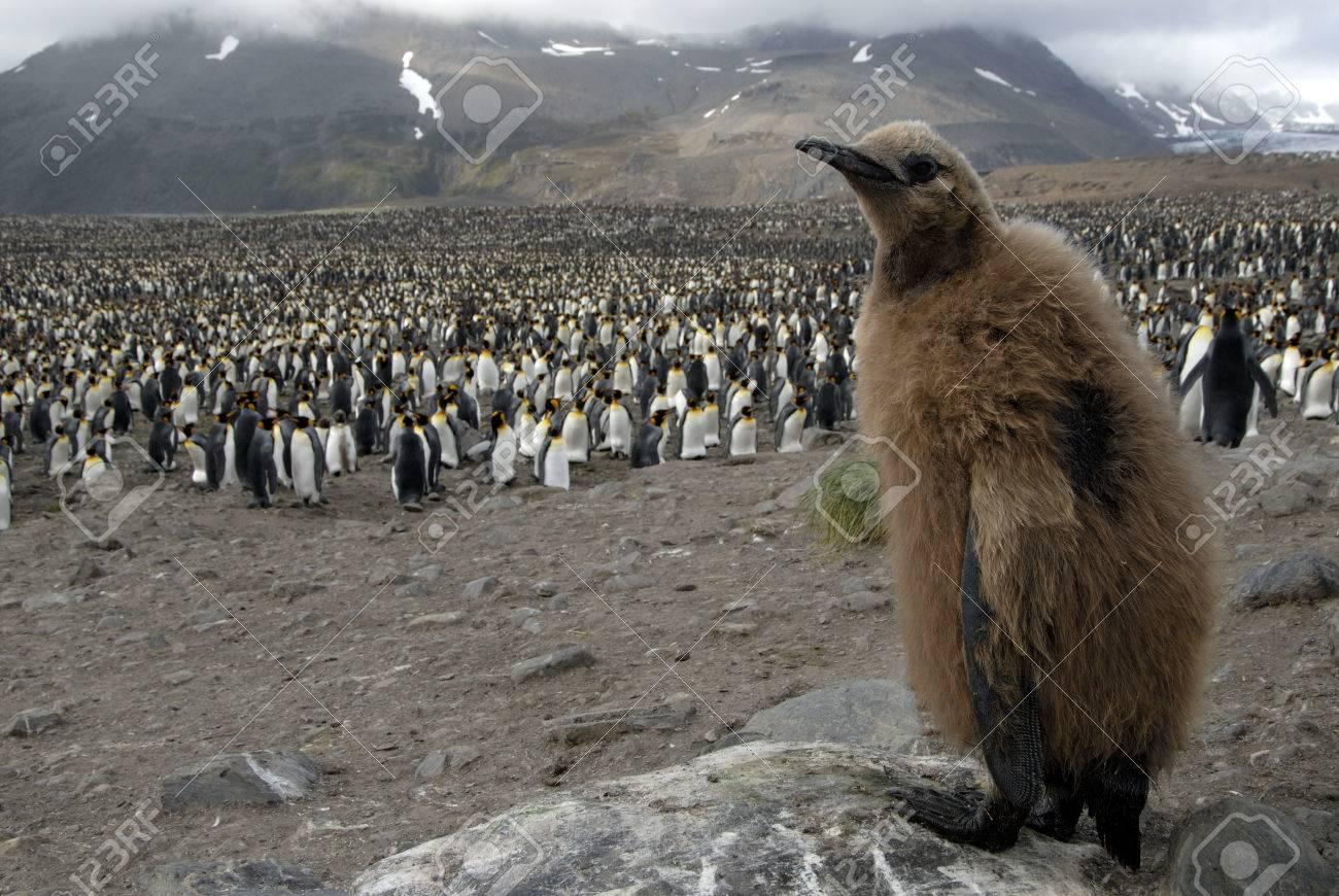 King Penguin chick - 1728932