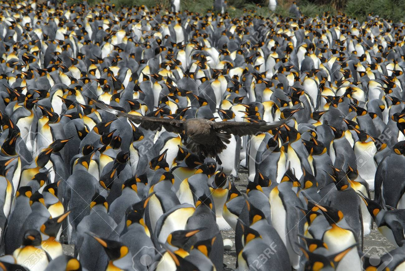 Colony King Penguins - 1728935