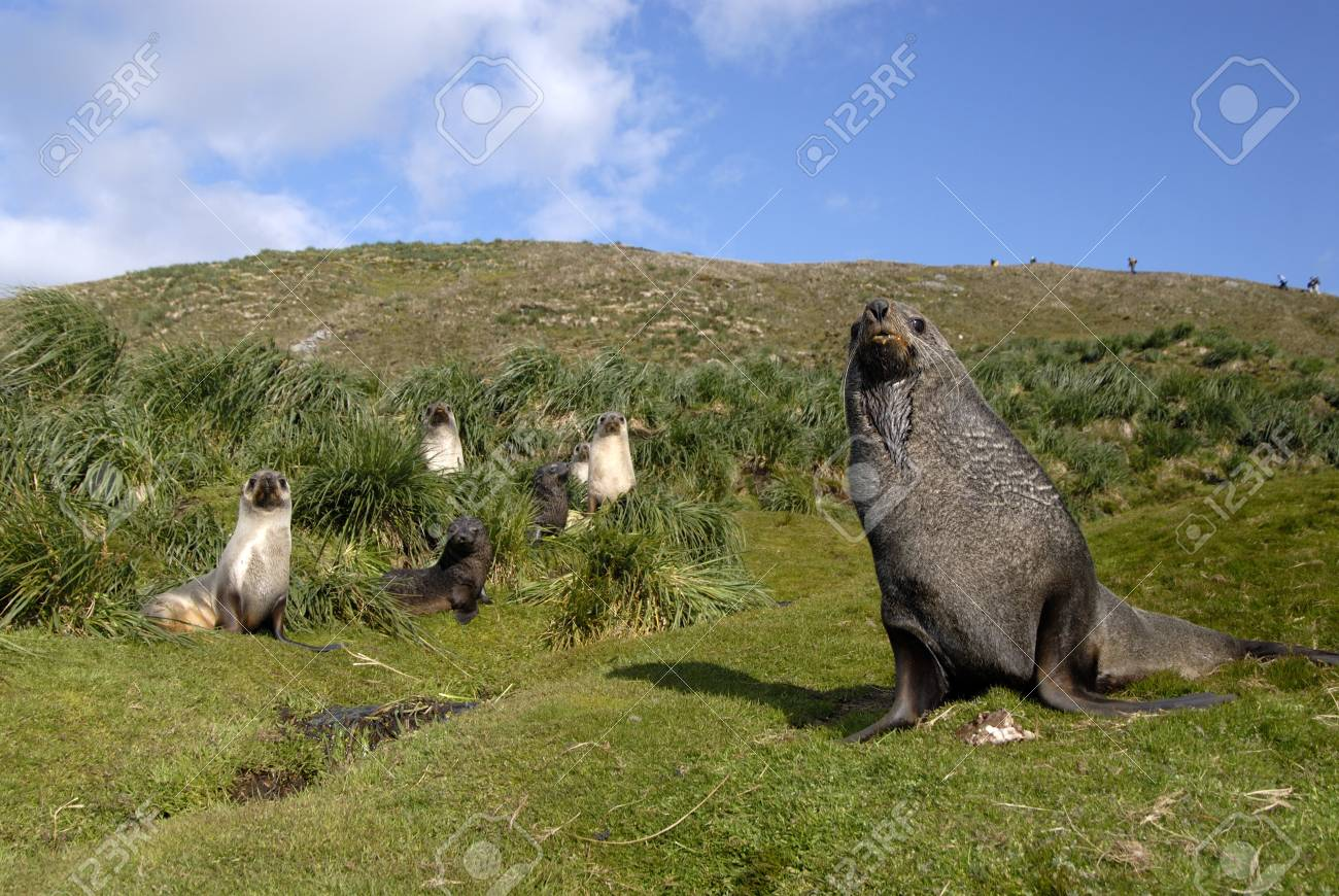 Fur Seal Stock Photo - 1728934