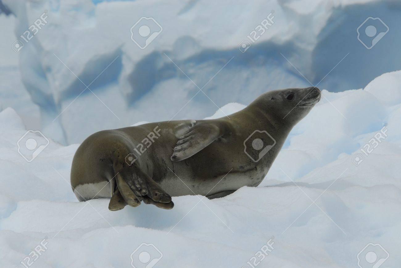 Crabeater Seal - 5589990