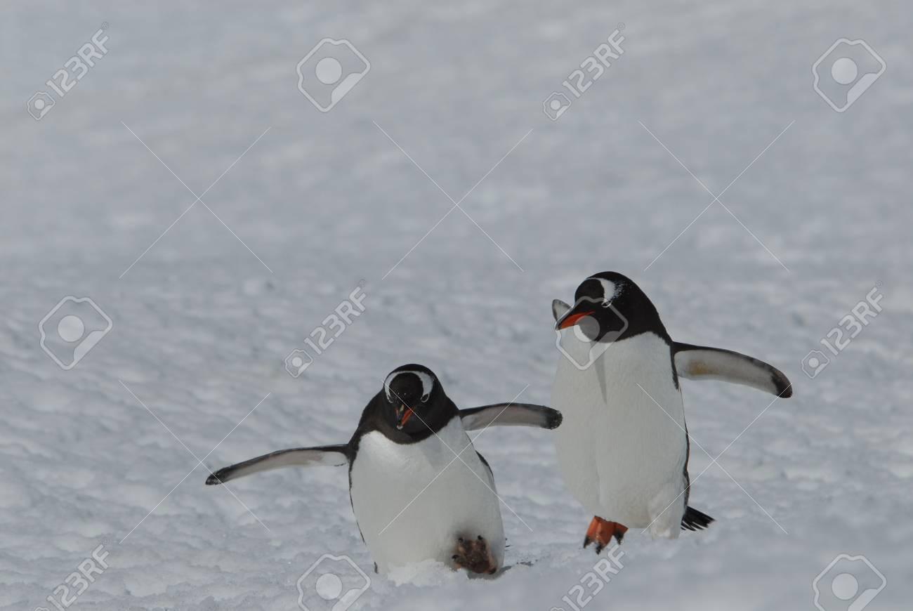 Gentoo Penguin - 5490094