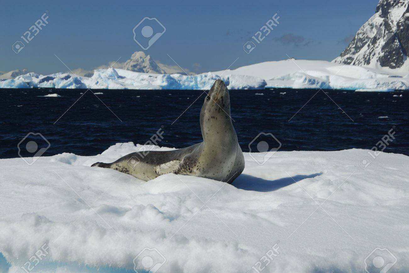 Leopard Seal - 5489499