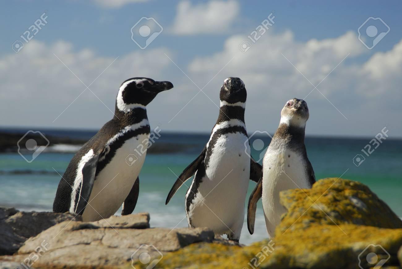 Magelanic Penguins - 5490365