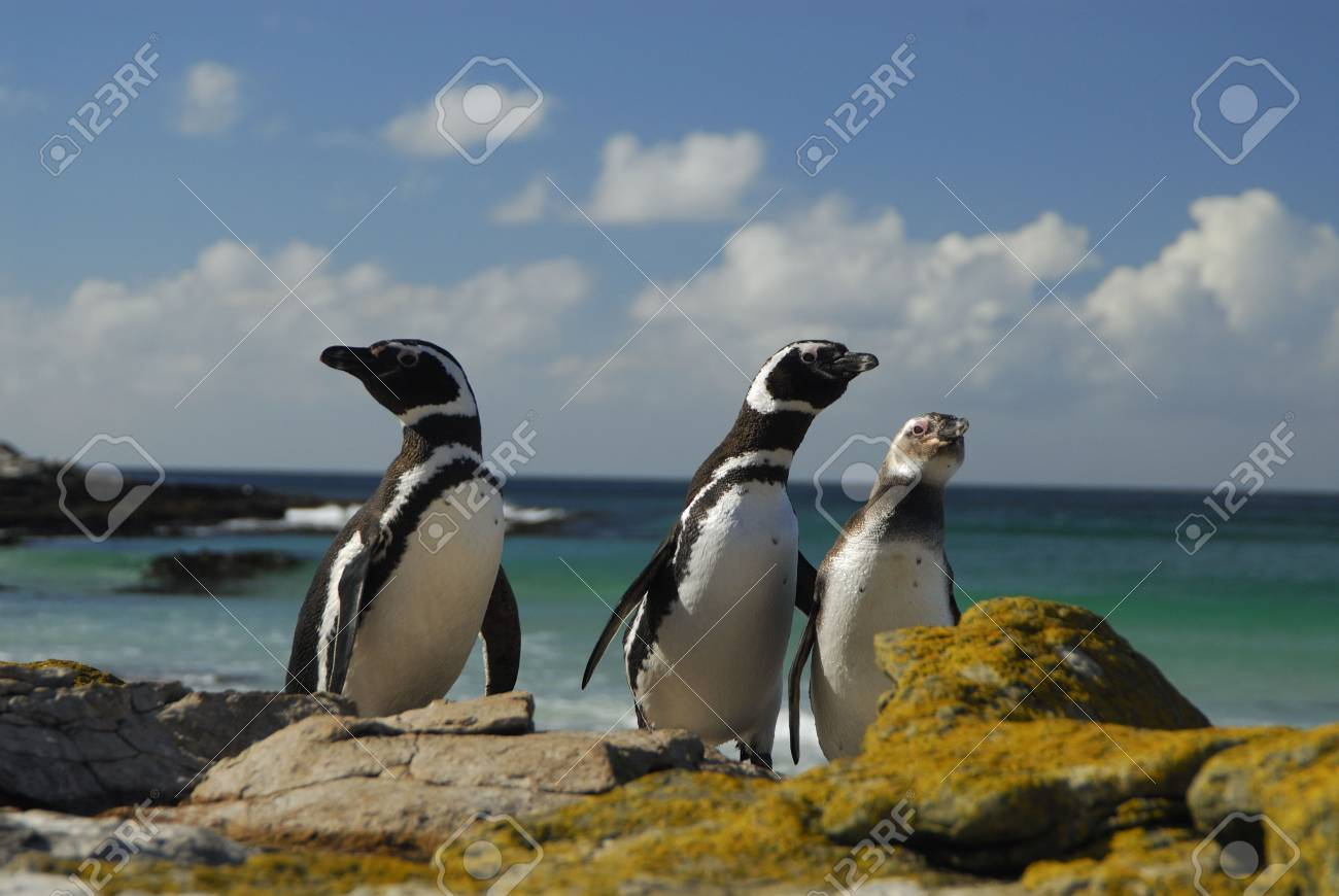 Magelanic Penguins Stock Photo - 5490370