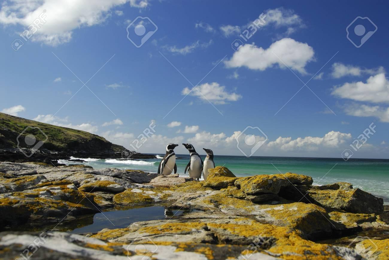 Magelanic Penguins - 5490433