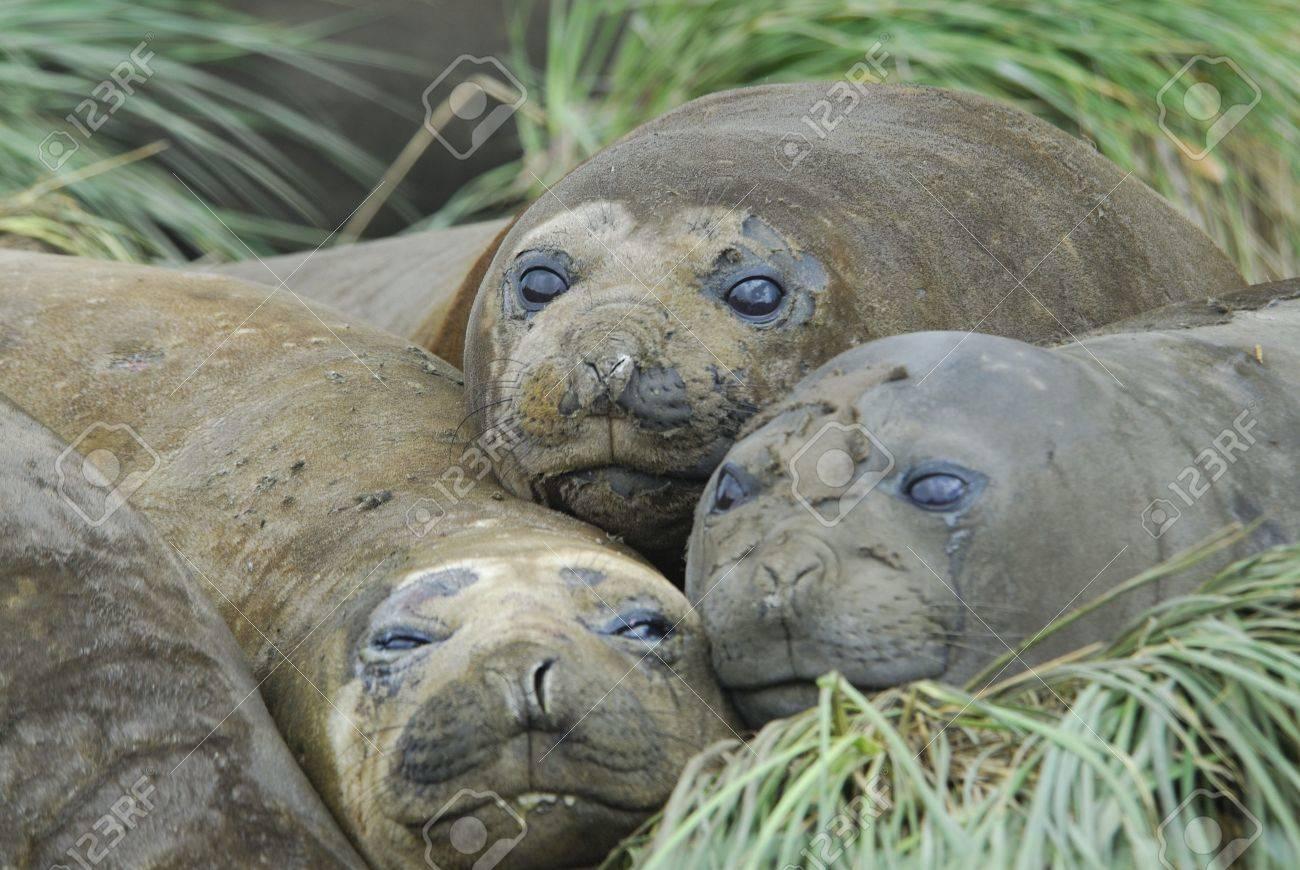 Elephant Seal Stock Photo - 5490455