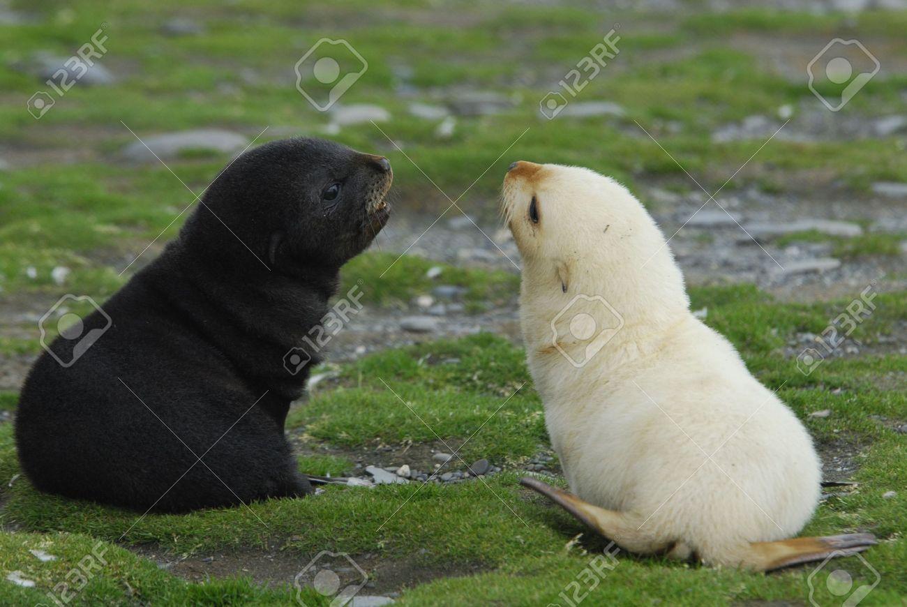 Fur seal pup - 5490395