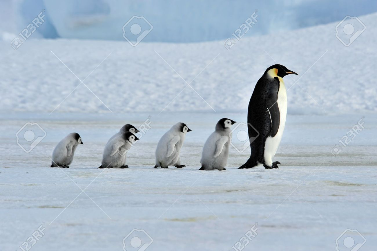 Emperor Penguin with chicks Snow Hill, Antarctica 2010 on the icebreaker Kapitan Khlebnikov - 9333458