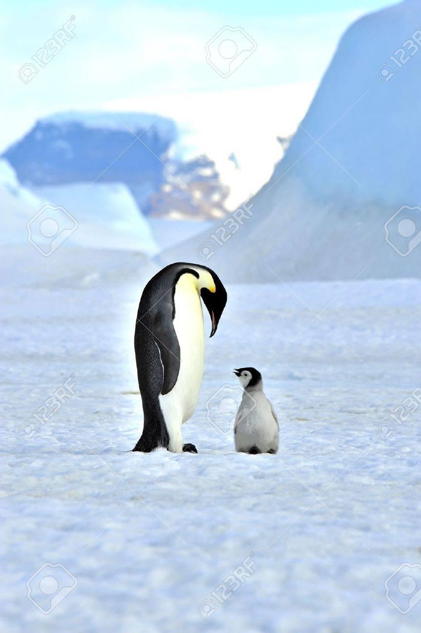 Emperor Penguin with chick Snow Hill, Antarctica 2010 on the icebreaker Kapitan Khlebnikov - 15528168