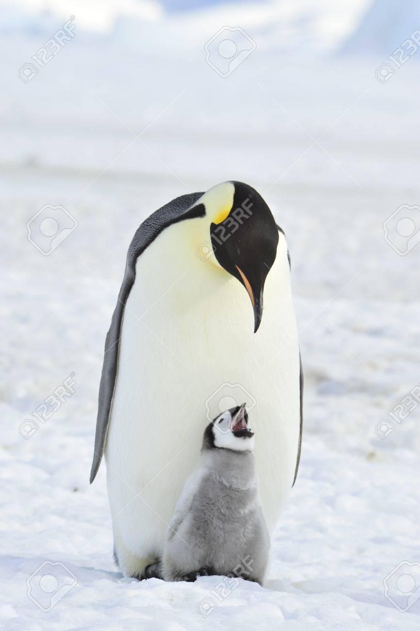 Emperor Penguin with chick Snow Hill, Antarctica 2010 on the icebreaker Kapitan Khlebnikov - 15527942