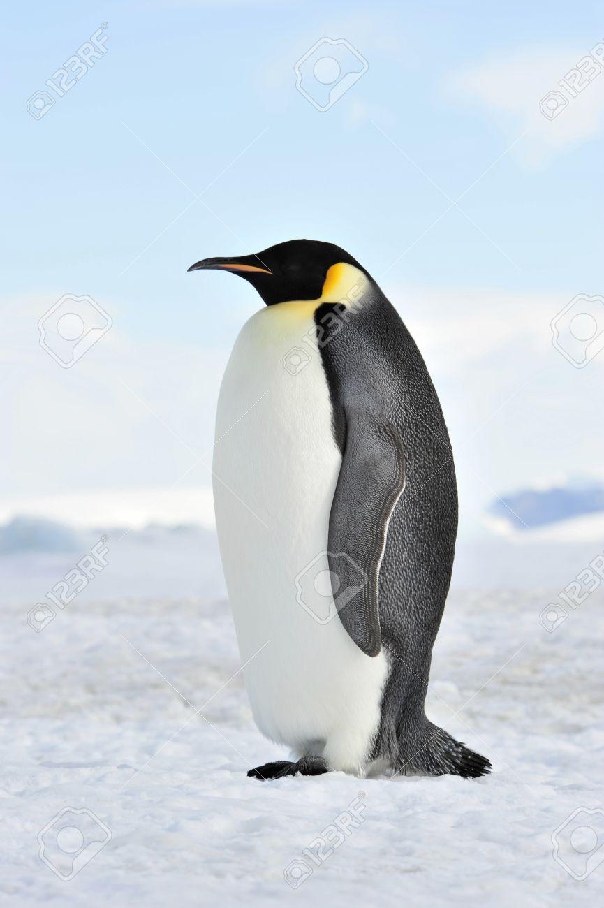 Emperor Penguin Snow Hill, Antarctica 2010 on the icebreaker Kapitan Khlebnikov - 15527744