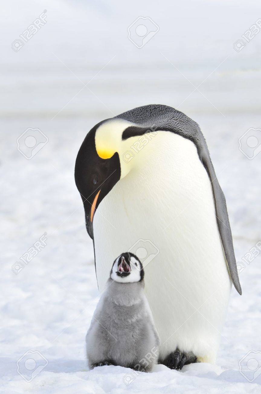 Emperor Penguin with chick Snow Hill, Antarctica 2010 on the icebreaker Kapitan Khlebnikov - 15527706