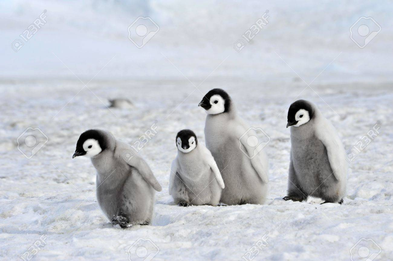 Emperor Penguin chicks Snow Hill, Antarctica 2010 on the icebreaker Kapitan Khlebnikov - 15527946