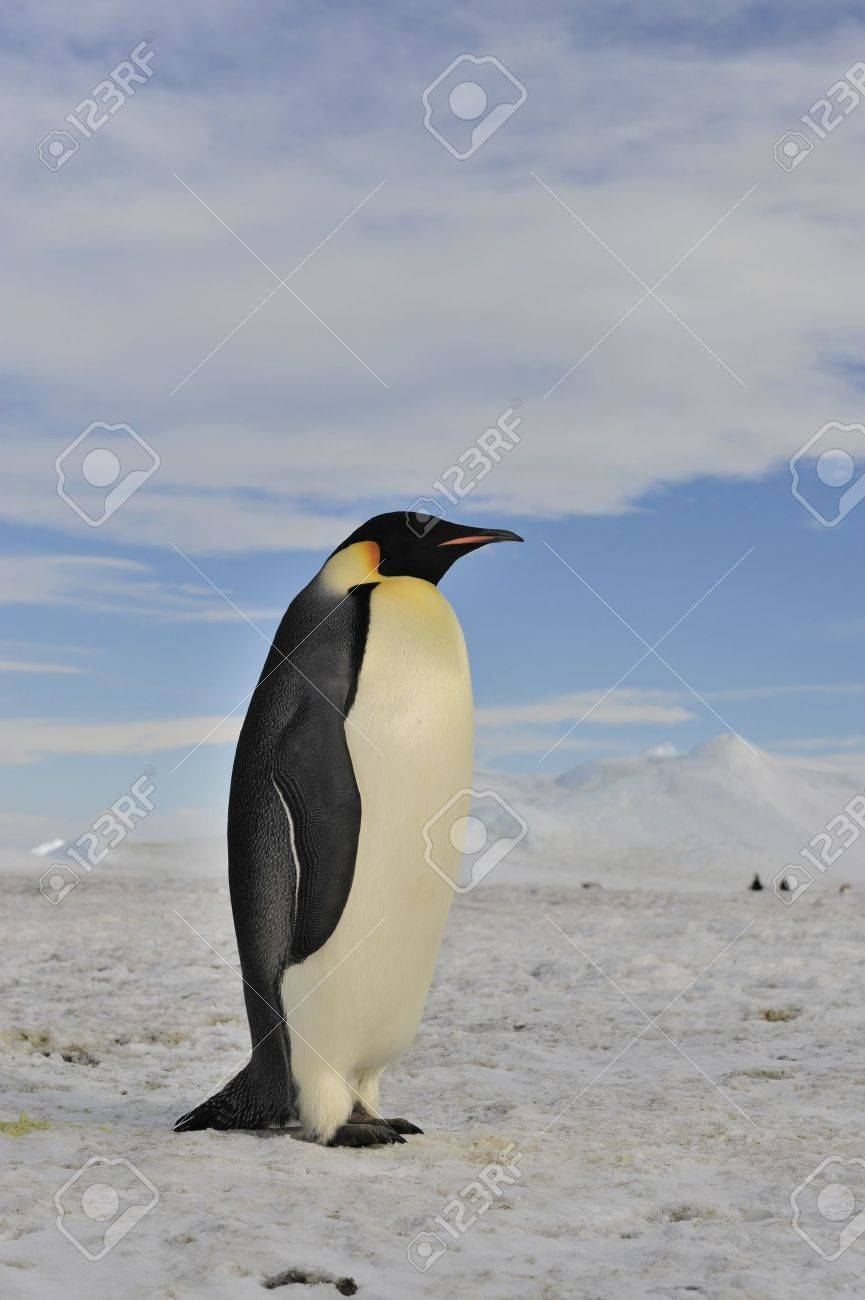 Emperor Penguin Snow Hill, Antarctica 2010 on the icebreaker Kapitan Khlebnikov - 15527913